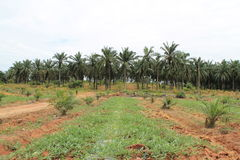 Palm cultivation Stock Image