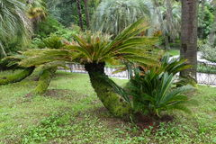 Palm Cycad drooping. Palm tree grows in the Park Royalty Free Stock Photos