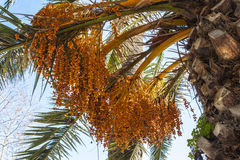 Palm with date Royalty Free Stock Photography