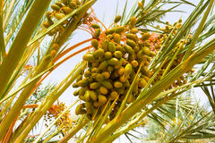 Palm dates. About to be cut in south Morocco Royalty Free Stock Images