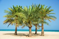 Palm Dates tree Royalty Free Stock Photo