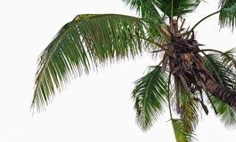 Palm in de eilanden van Seychellen op geïsoleerd backround Stock Afbeeldingen