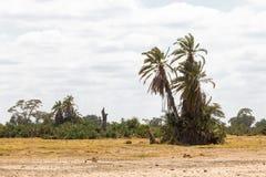 Palm in de savanne Een kleine oase in de savanne Amboseli, Kenia Stock Foto's