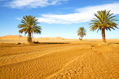Palm in the  desert oasi morocco sahara africa Stock Photography