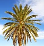 Palm in the  desert oasi morocco sahara africa dune Stock Photo