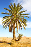 palm in the  desert oasis Royalty Free Stock Image