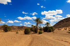 Palm in the  desert oasis morocco Royalty Free Stock Photos