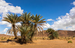 Palm in the  desert oasis morocco Royalty Free Stock Photography
