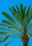 Palm detail blue sky Stock Photography