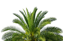 Palm die op wit wordt geïsoleerdb Stock Fotografie