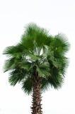Palm die op witte achtergrond wordt geïsoleerdn Royalty-vrije Stock Afbeelding