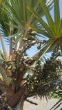 palm drie feuit royalty-vrije stock fotografie