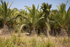 Palm drzewa w Ibiza Zdjęcia Royalty Free