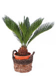 Palm in een pot Stock Afbeeldingen