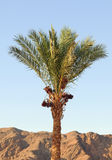 Palm in Egypt Royalty Free Stock Photography