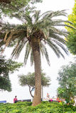Palm on embankment in Petrovac, Montenegro Royalty Free Stock Photography