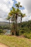 Palm endemica pajua and sign with the palm name and river in the backgraund in alejandro de humboldt national park near baracoa cu. Palm and sign with the palm royalty free stock photos