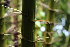 Palm family plant in tropical zone with long sharp dangerous thorn Stock Photos