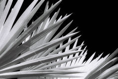 Palm Fan. Black and White Infra Red image of Palm Fronds. Infra Red film has significant grain Stock Images