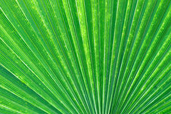 Palm Fan Pattern Royalty Free Stock Photo