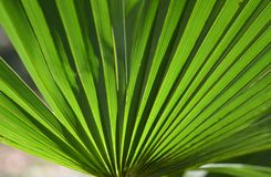 Palm. In the fan-shaped palm leaf of the green royalty free stock photos
