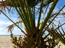 Palm flower beach sunny day. Palm flowers on a beach sunny day Royalty Free Stock Images