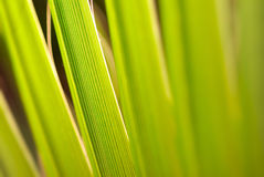 Palm foliage Royalty Free Stock Images