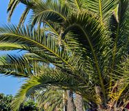 Palm foliage background. Green palm leaf foliage background royalty free stock photos