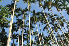 Palm forest blue sky tropical Royalty Free Stock Image