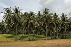 Palm forest on Koh Samui Royalty Free Stock Photos