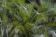 Background of many  palm leaves Royalty Free Stock Photo