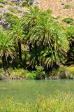 Palm forest Preveli on Crete island, Greece Royalty Free Stock Photography