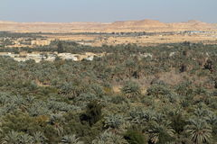 Palm forest in the Siwa Oasis Stock Photography
