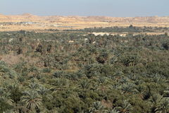 Palm forest in the Siwa Oasis Royalty Free Stock Photography