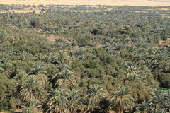 Palm forest in the Siwa Oasis Stock Image