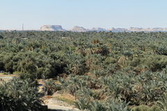Palm forest in the Siwa Oasis Stock Images