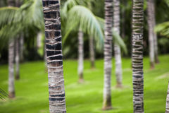 Palm forest in Tenerife Royalty Free Stock Photo
