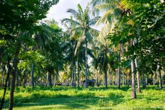 Palm forest in the tropics and the old rickety barn. Palm forest in the tropics and the old rickety shed on a Sunny day. Plantation coconut Royalty Free Stock Photo