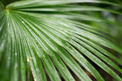 Palm frawn Royalty Free Stock Photo
