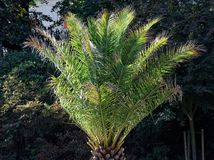 Palm freely standing. In a park royalty free stock photography
