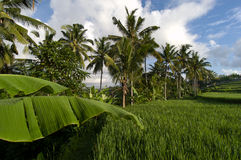 Palm fringed Paddy Field Stock Image