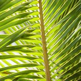 Palm frond. royalty free stock photo