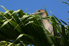 Palm frond bird. A juvenile Black-crowned night heron has found a perfect place to hide until it can pounce on breakfast Royalty Free Stock Image