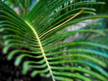 Palm Frond Close Up in Orlando. A close up of a palm frond taken from the end of the leaf at Leu Gardens in Orlando, Florida royalty free stock image