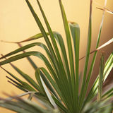 Palm frond or leaf Royalty Free Stock Photo