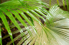 Palm frond leaves in the rain Royalty Free Stock Images
