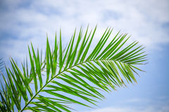 Palm frond sky. Branch of a palm tree against the blue sky Royalty Free Stock Images