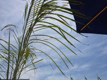 Palm frond and umbrella against blue sky. Palm leaves and umbrella against blue sky Royalty Free Stock Photography
