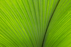 Palm Frond Royalty Free Stock Photography