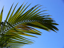 Palm fronds. PAlm frond backlit in afternoon Royalty Free Stock Photography